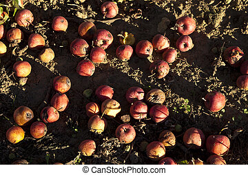 red windfall apples - windfall apples on the earth