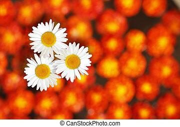 Daisies standing amidst marigold flowers - Three white...