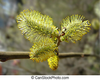 Spring. Catkins of pussy-willow close up