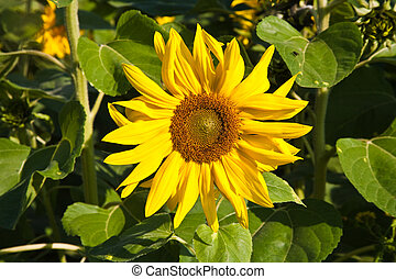 sunflowers in the field - sunflower blossom in the...