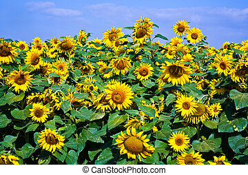 sunflowers in the field - sunflowers in the sunflowerfield...
