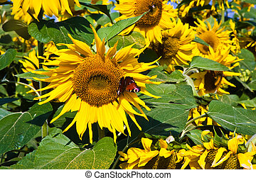 sunflowers in the field - butterfly in a sunflower blossom,...