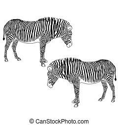dois, Zebras, vetorial, Ilustração