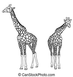 Two giraffes Vector illustration