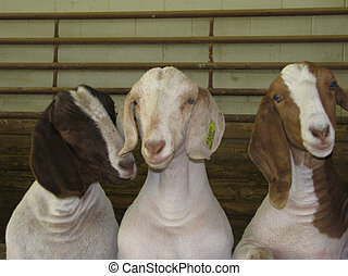 Goofball Goats - Three goats looking goofy.