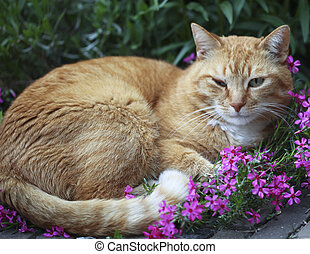 Red cat with infected eye - Red cat lying in garden with...