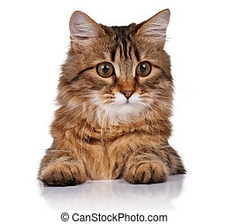 Cute cat - Cute young Siberian cat on white background