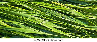 vert, blé, herbe, gouttes rosée, matin