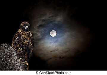 Galapagos Hawk at night - Galapagos Hawk on a cactus, in...