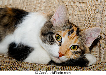 Cat resting on a chair - Calico cat resting on a chair. She...