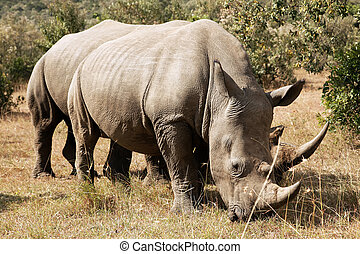 Masai Mara White Rhinoceros - White Rhinoceros or...