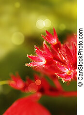 Red Mussaenda sepals glowing in sunlight - Red Mussaenda...