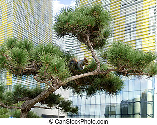 Pine tree with squirrel in the city