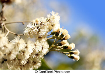 Eupatorium flowers in full bloom and sky in background -...