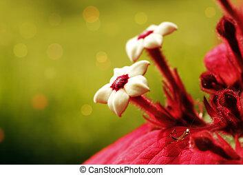Ashanti Blood flower with mantis - Couple of Ashanti Blood...