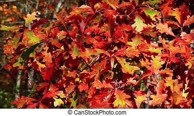 Autumn Oak Leaves Loop