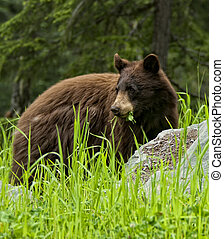 Black Bear Eatting Grass ans Clover. This bear is in his...