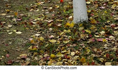 falling yellow leaves on ground