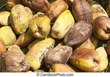 recently harvested coconuts - stockpiled coconut palm...