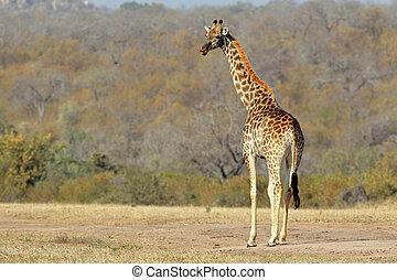 Giraffe (Giraffa camelopardalis) in the African savanna