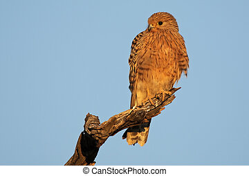 Greater kestrel (Falco rupicoloides) perched on a branch,...