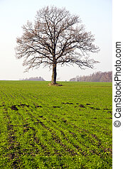 winter crop field and tree in autumn