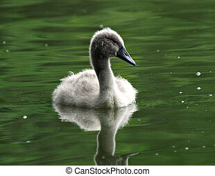Cygnet - Young cygnet on a lake