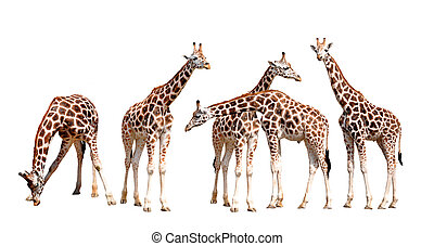 giraffes isolated - herd of giraffes isolated isolated
