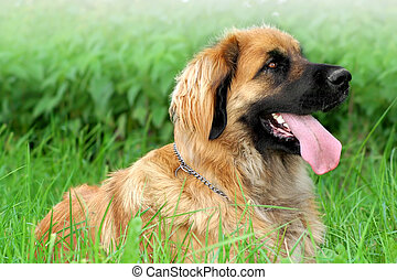 Leonberger in grass