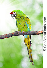 Ara Militaris Military Macaw Green parrot South and Central...