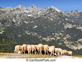 Julian Alps - Slovenia, Europe - herd of sheep in the Julian...