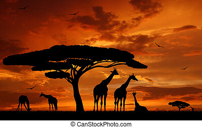 giraffe over sunrise - herd of giraffe over sunrise