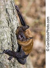 Common noctule Nyctalus noctula - Bat on a tree