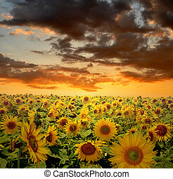 sunflower field - setting sun over the sunflower field