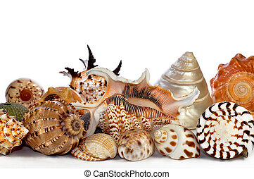 tropical sea shells isolated on white