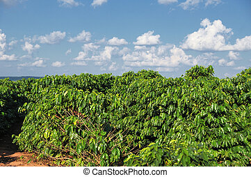 Parana - Brazil - Coffee trees