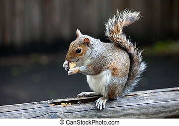The grey squirrel in one of London parks - The grey squirrel...