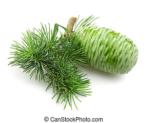 young cedar  with the cone
