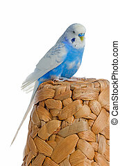 Blue parrot on a rattan hat, isolated