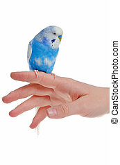 Parrot on hand, isolated on white background