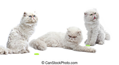 Three white Persian cats