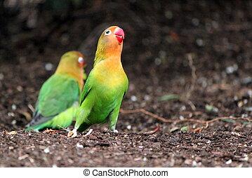 Singing agapornis-fischeri bird - Bird agapornis-fischeri...