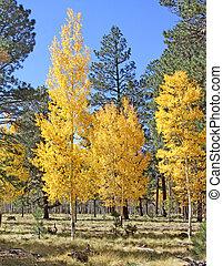 Aspens in fall at Pole Knoll, AZ