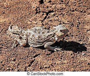 Greater Short-horned Lizard (Phrynosoma hernandesi), White...