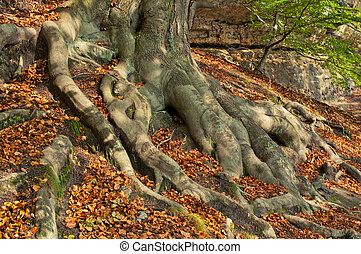 Tree Roots - Tree roots during the afternoon autumn day.