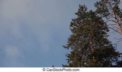 Pine trees against blue sky Timelapse