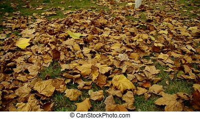 falling golden leaves full on ground