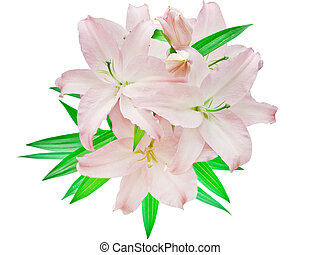 pink lilies isolated on white background