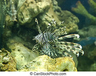 Lion-fish in aquarium
