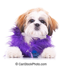 adorable dressed shih tzu puppy - adorable shih tzu puppy...